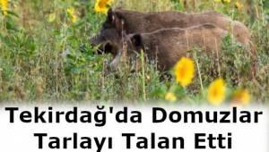 Domuzlar Tekirdağ'ı Talan Etti! Domuzlar Tekirdağ'da Tarlayı Bastı