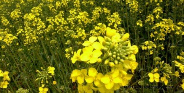 Kanola, Hayrabolu Ovası'nı Sarıya Boyadı
