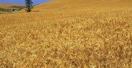 Buğdayına İyi Bakmayan Çiftçi Verim Beklemesin